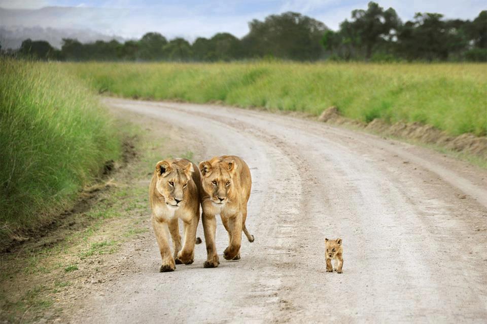Lions + cub
