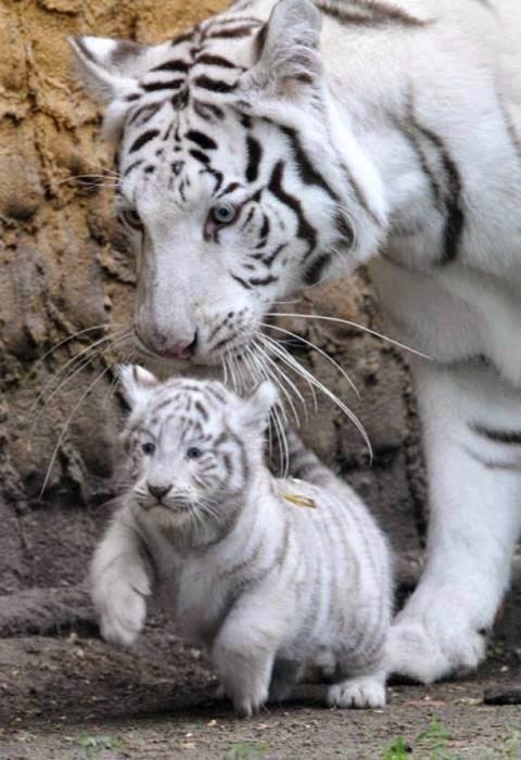 Big cats... 7