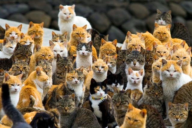 The army of cats, Aoshima Island (Japan)