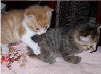 caturday - kitten - brothers 4