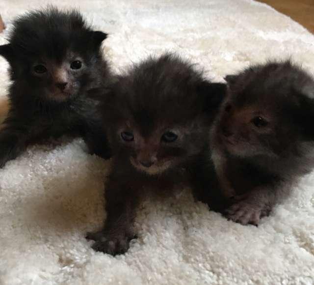 lykoi - wolf-cat - kitten