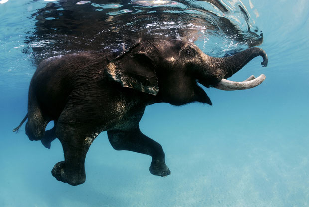 swimming elephant - 4