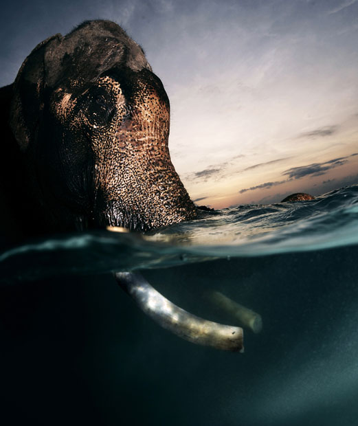 swimming elephant - 5