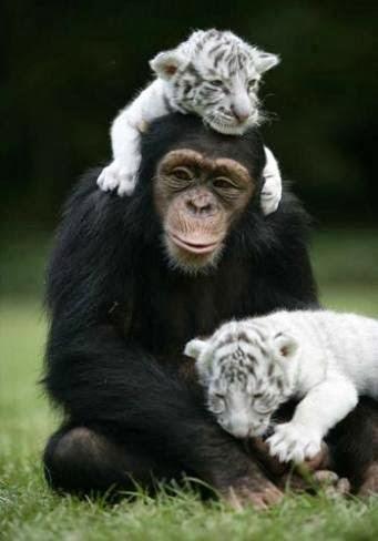 Chimp & white tiger cubs